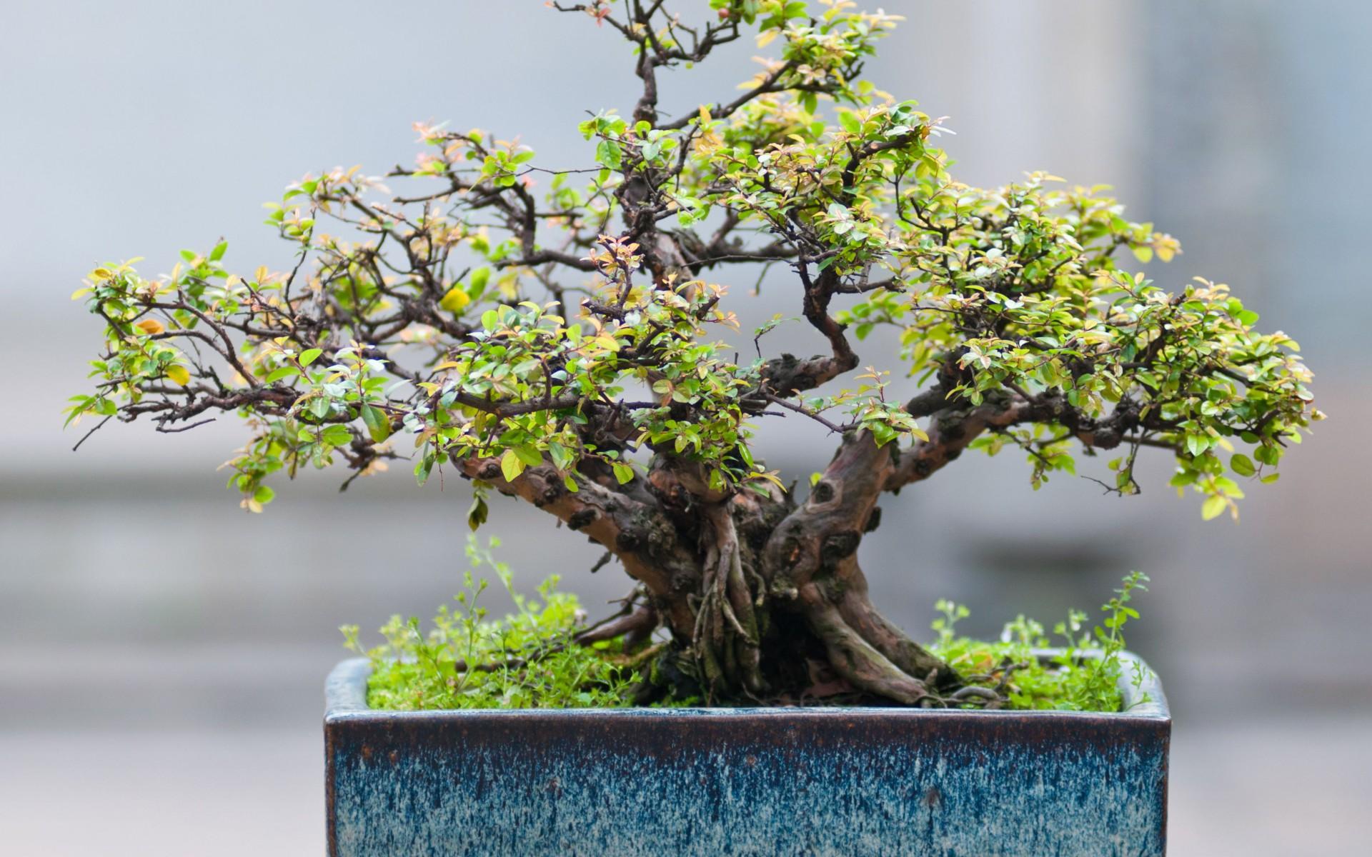 Lavendel bonsai