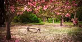 Kirschblüte im Japanischen Garten