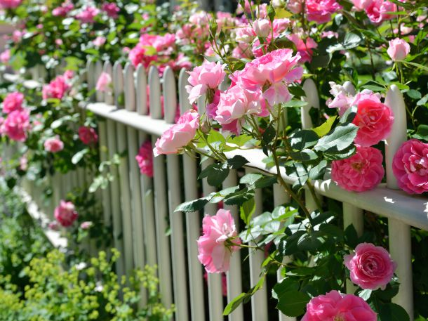 Prachtvolle Rosen - Zierde in jedem Garten