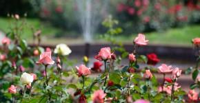 Rosengarten mit Springbrunnen