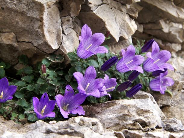 Glockenblumen im Steingarten