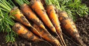 Karotten aus dem eigenen Garten