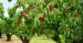 Kirschbäume im Obstgarten