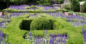 Lavendel im Ziergarten