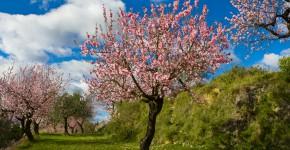 Mandelbäume im Obstgarten, Spanien