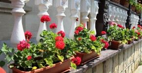 Pelargonien in Blumenkästen