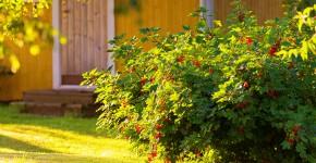 Ribiselstrauch im Obstgarten