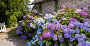 Rosarote, blaue und violette Hortensien im Bauerngarten