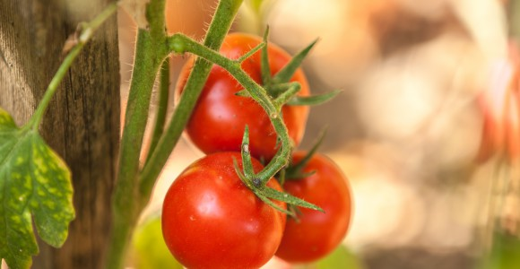 Tomaten im Gemüsegarten