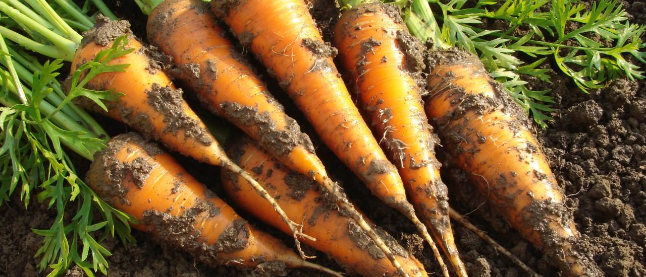 Karotten aus dem Gemüsegarten