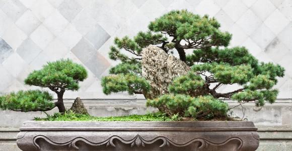 Bonsai und Formbaum