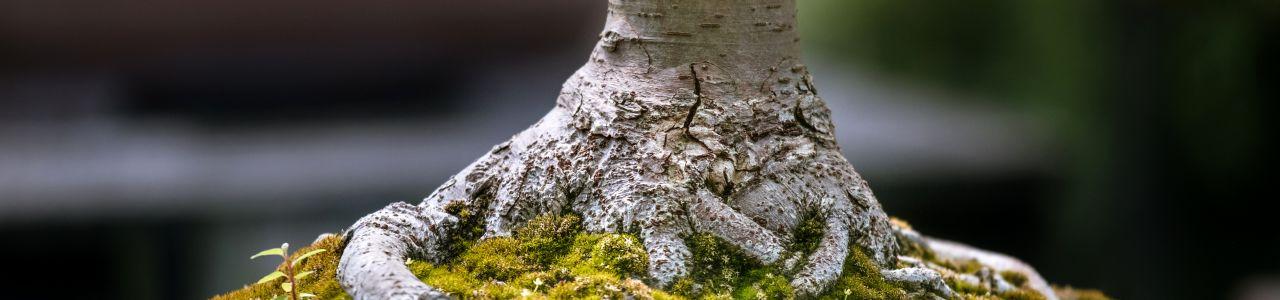 Die starken Wurzeln des kleinen Bonsais, Photo by Samuel Zeller on Unsplash