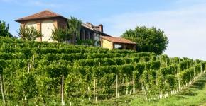 Weingarten, Piedmont, Italien
