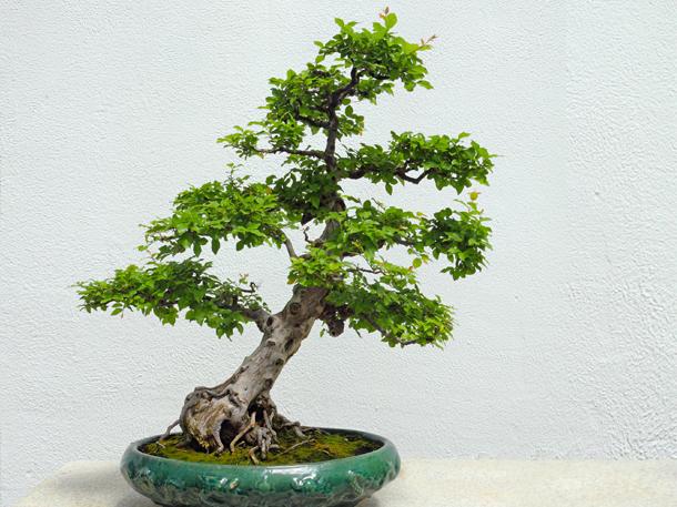Geneigte Bonsaiform