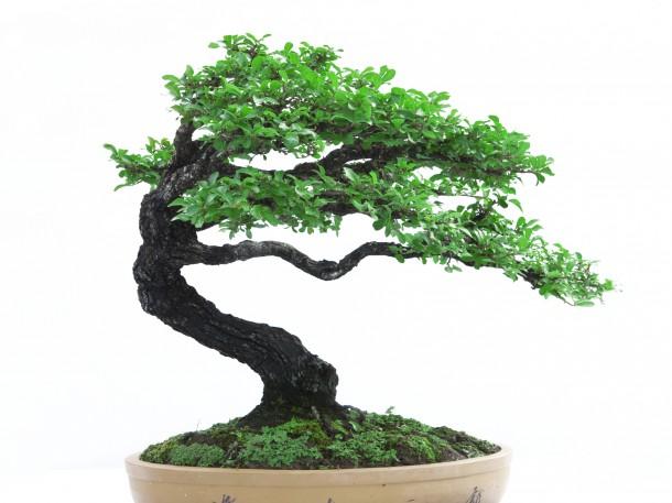Windgepeitschte Bonsaiform