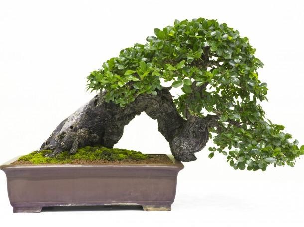 Halbkaskaden Bonsaiform