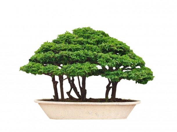 Wald Bonsaiform