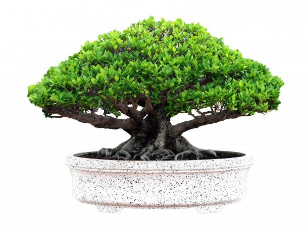 Mehrfachstamm Bonsaiform