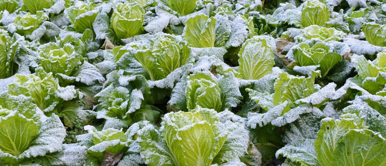 Frost im Gemüsegarten