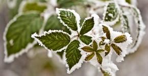 Frost und Schnee auf Blättern