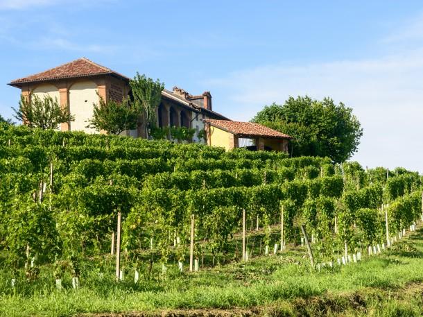 Der Weingarten im Sommer, Piedmont, Italien