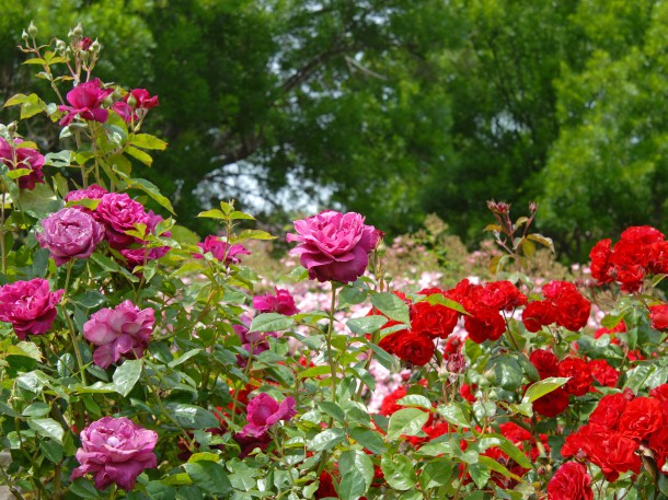 Große Freude im Sommer dank sorgfältigem Rosenschnitt