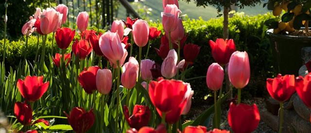 Tulpen im Südsteiermark Garten, (c) Renate Polz