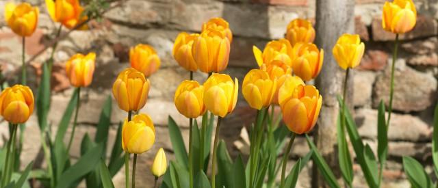 Tulpen in Schloss Hof, (c) Schloss Hof