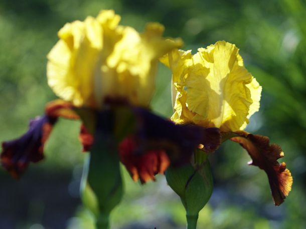Iris, Andalou, (c) Renate Polz
