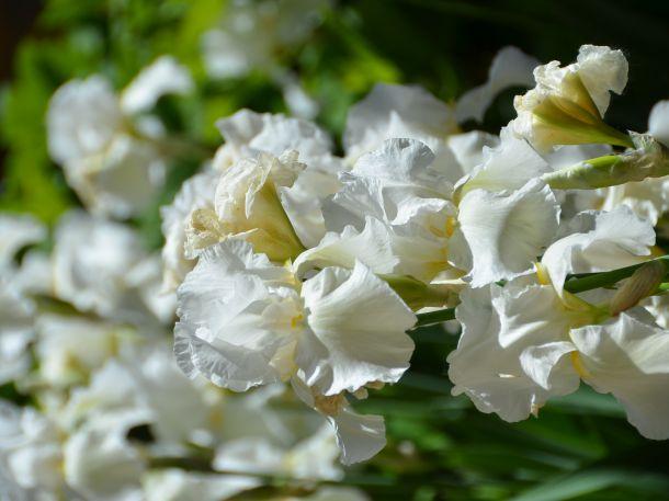 Iris, Devonshire Cream, (c) Renate Polz