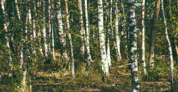 Birkenwald, by Holger, flickr.com