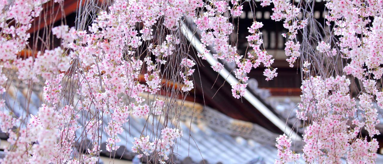 Japanischer Garten Kirschblüte