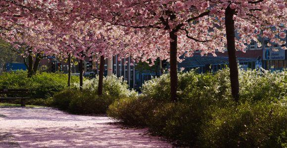 Kirschblüte im Schräger-Funken-Park