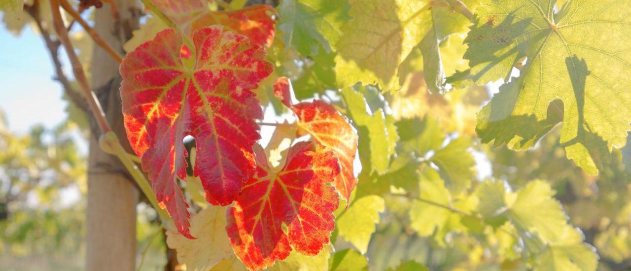 Weinblätter, Pfaffstätten, Österreich