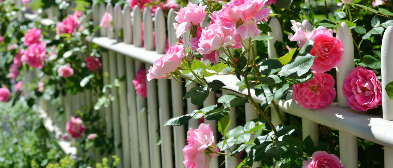 Rosen entlang des Gartenzauns