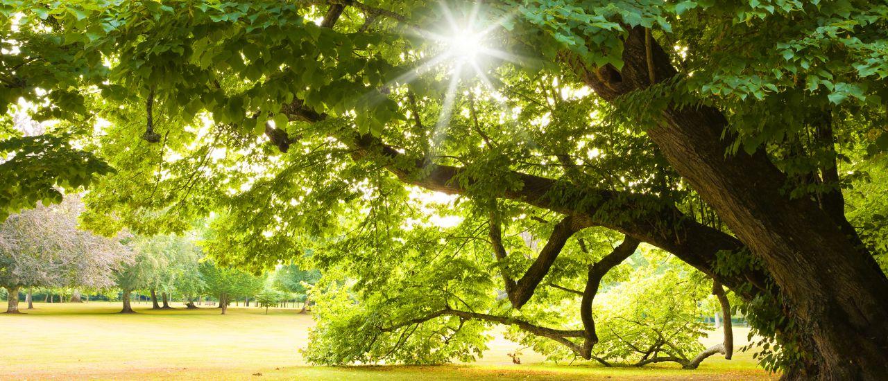Der Baum der Liebenden - die Linde