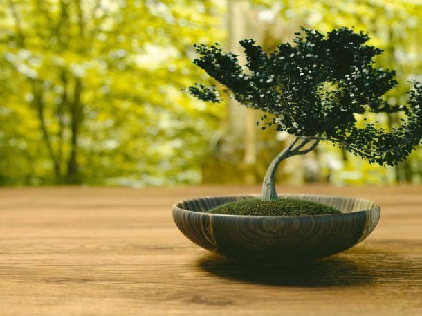 Bonsai in Holzschale